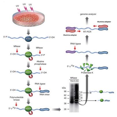 紫外交联免疫共沉淀测序